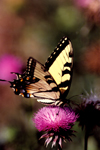 A yellow butterfly on a thistle